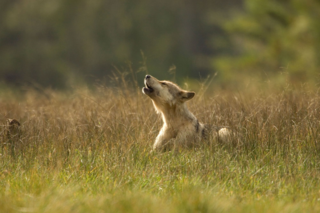 WOLF_PUP_CFAGPH_249539