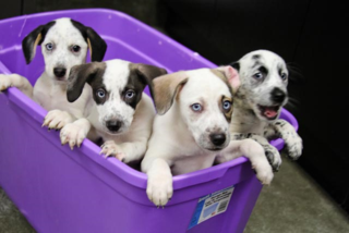Blue eyed puppies from Bowling Green HS