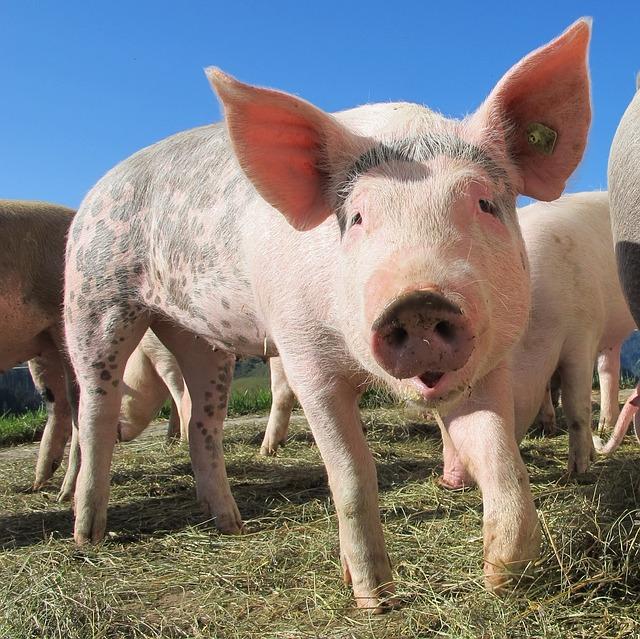 GMO-pigs