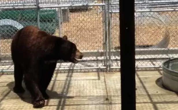 Glendale bear