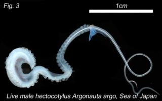 argonaut paper nautilus animal mating hectocotylus