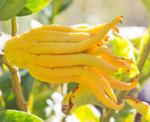 Buddhas hand citron