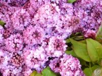 Nice Lilacs