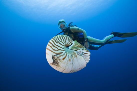 'Nautilus pompilius'. / Reinhard Dirscherl
