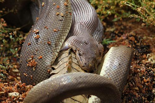 Python-eats-snake-500w