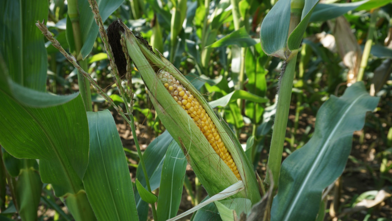 In the U.S., ethanol is typically made from corn.
